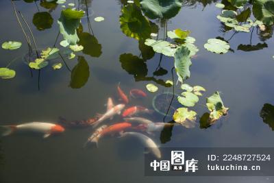 荷花池中游动的锦鲤